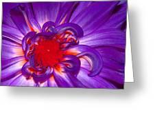 Purple Dahlia Greeting Card