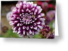 Purple Dahlia White Tips Greeting Card