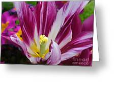 Purple Dual Coloured Tulip Greeting Card