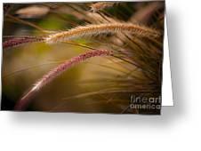 Purple Fountain Grass Ornamental Decorative Foxtail Home Decor Print Greeting Card