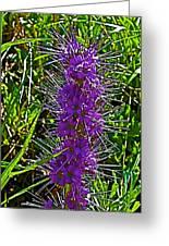 Purple Fringe On Bald Mountain In Ketchum-idaho Greeting Card