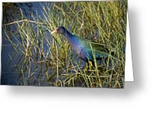 Purple Gallinule 2 Greeting Card