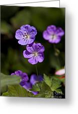 Purple Geranium Flowers Greeting Card