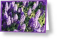 Purple Grape Hyacinth  Greeting Card