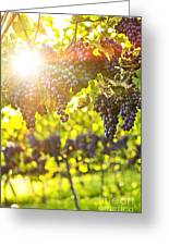 Purple Grapes In Sunshine Greeting Card