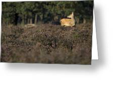 Purple Heather In The Background A Female Deer Netherlands Greeting Card