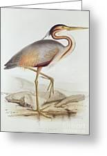 Purple Heron Greeting Card