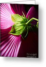 Purple Hibiscus Shot From Behind. Greeting Card