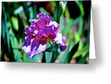 Purple Iris Opens Greeting Card