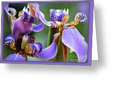 Purple Irises Closeup Greeting Card