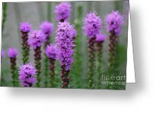 Purple Liatris Flowers Greeting Card