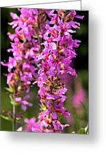 Purple Loosestrife Tall Greeting Card