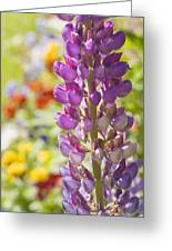 Purple Lupine Flowers Greeting Card