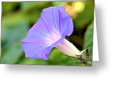Purple Morning Glory Greeting Card