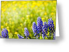 Blue Muscari Mill Bunches Of Grapes Close-up  Greeting Card