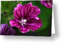 Purple Hollyhock Greeting Card