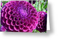 Purple Perfection Dahlia Flower Greeting Card