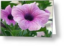 Purple Petunia  Greeting Card