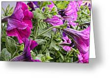 Purple Petunias Greeting Card