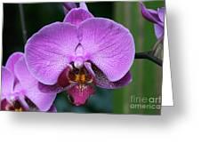 Purple Phalaenopsis Orchids Greeting Card
