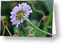 Purple Pincushion Flower Greeting Card