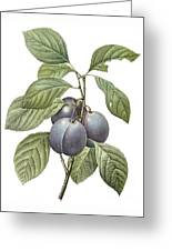 Purple Plum Greeting Card
