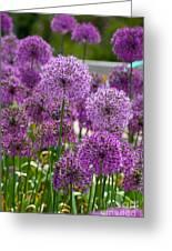 Purple Pom Poms Greeting Card