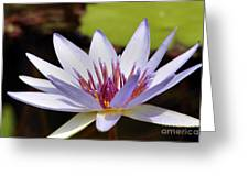 Purple Rhonda Kay Waterlily Above The Pond Greeting Card