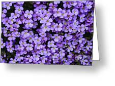 Purple Rockcress Greeting Card