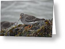 Purple Sandpiper 2 Greeting Card