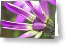 Purple Senetti I Greeting Card by Cate Schafer