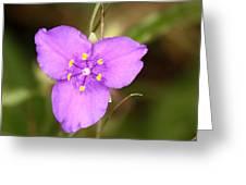 Purple Spiderwort Wildflower Greeting Card