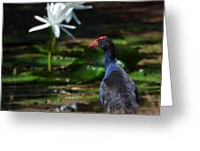 Purple Swamphen Admiring The Water Lilies Greeting Card