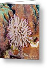Purple Tip Anemone Greeting Card