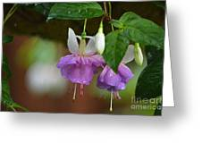 Purple With White Fuschias Greeting Card