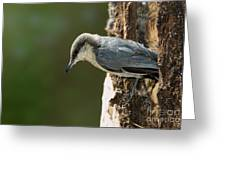 Pygmy Nuthatch Greeting Card