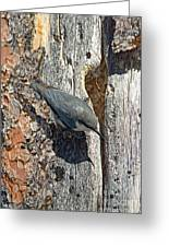 Pygmy Nuthatch At Nest Greeting Card