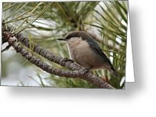 Pygmy Nuthatch Greeting Card