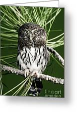 Pygmy Owl Greeting Card