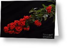Pyracantha Berries On Black - Pennsylvania Greeting Card
