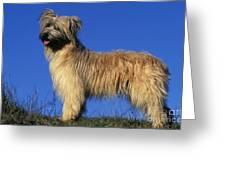 Pyrenean Sheepdog Greeting Card