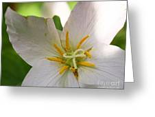 Quadrillium - A Four Petaled Trillium Greeting Card by Cari Gesch