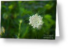 Queen Anne S Lace Single Greeting Card