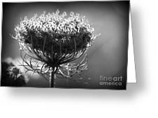 Queen Annes Lace - Bw Greeting Card