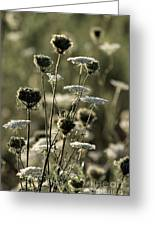 Queen Annes Lace - 1 Greeting Card