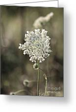 Queen Annes Lace - 3 Greeting Card