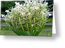 Queen Anne's Lace Flower Unfolded Greeting Card