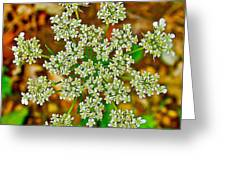 Queen Anne's Lace Or Wild Carrot Near Alamo-michigan Greeting Card