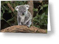 Queensland Koala Juvenile Australia Greeting Card