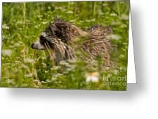 Raccoon In The Meadow Greeting Card